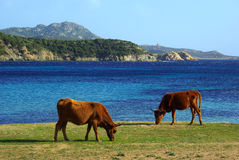 Cows on beach. Cow at Capo Malfatano Beach near Chia (Sardinia - Italy Stock Images