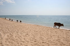 Cows on beach Royalty Free Stock Image