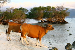 Cows on the beach. Of Gili island Stock Photos