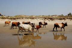 Cows on the beach, Goa Royalty Free Stock Image