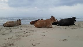 Cows on the Beach in Goa India stock footage