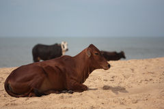 Cows on beach, Goa, India Royalty Free Stock Image