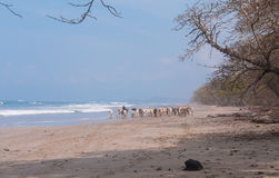 Cows on beach Royalty Free Stock Photos