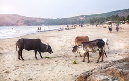 Cows on the beach in India Stock Image