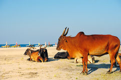 Cows at the beach Royalty Free Stock Photos