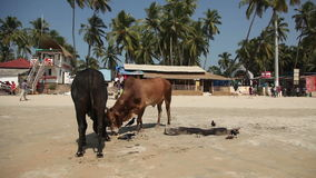 Cows on the beach Palolem, India, Goa stock video footage