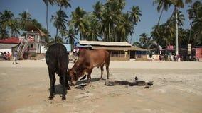Cows on the beach Palolem, India, Goa stock video footage