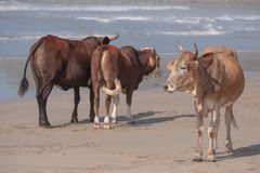 Cows on the beach at Port St Johns on the wild coast, South Africa.  In the background, children bathe in the sea. royalty free stock image
