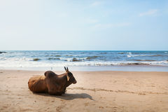Cows on a beach. Royalty Free Stock Images