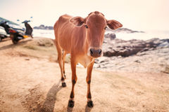 Cows on a beach. Royalty Free Stock Photos