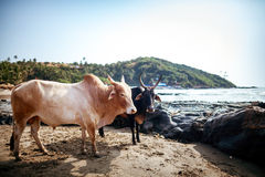 Cows on a beach. Royalty Free Stock Photography