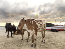 Cows on a beach at sunset, GOA in India. Stock Photography