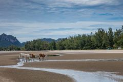 Cows on a beach in Thailand royalty free stock photography