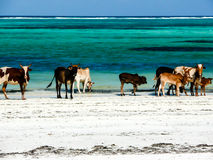 Cows on the Beach. Royalty Free Stock Image