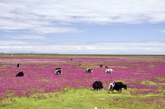 Cows on the beautiful grassland. Some cows grazing on the beautiful grassland where are full of green grass and red flowers Royalty Free Stock Image
