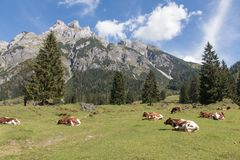 Cows with a beautiful mountain landscape stock image