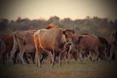 Cows in beautiful orange twilight Stock Images