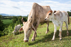 Cows beef cattle. Calf and cow against beef cattle in Thailand Royalty Free Stock Photos