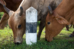 Cows beef cattle. Head of cows against beef cattle in Thailand Stock Photo