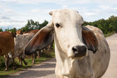 Cows beef cattle Royalty Free Stock Photography