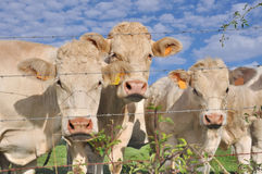 Cows behind barbed wire Stock Photography