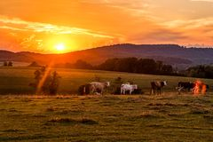 Cows behind a Blazing Sky sunset. Wonderfull orange mood Royalty Free Stock Photos