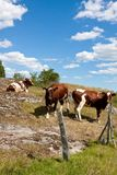 Cows behind fence. Royalty Free Stock Image
