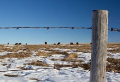 Cows behind an old barbed wire fence, Alberta Cana. Field of cows behind a perimeter fence in the winter time, Alberta Canada Stock Photo
