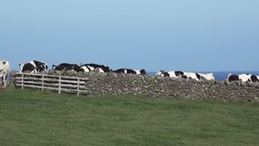 Cows behind rock fence stock video