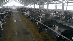 Cows are being kept in a spacious cowhouse
