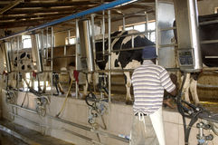 Operational Milking Parlour. Cows being milked at a milking Parlour Royalty Free Stock Photography