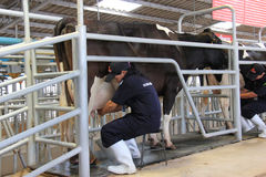 Cows being milked professionally. At Chok Chai Farm, Thailand on May 3, 2013 Royalty Free Stock Photo