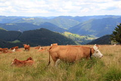 Cows in the Black Forest Royalty Free Stock Photography
