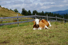 Cows in the Black Forest Royalty Free Stock Image