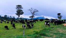 Cows. Black and white cows in a grassy field on a bright and sunny day in The sri lankan Stock Images