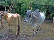 Cows on the block stock photos