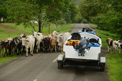 Cows blocking the road for truck and boat in panama Stock Photography