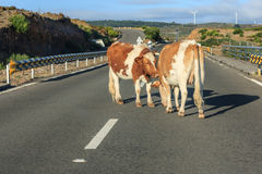Cows blocking traffic Royalty Free Stock Photo