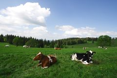 Cows, blue sky and green field. Cows grazing in the Green fields on a Sunny day Stock Photography