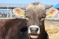 Cows breed Brown Schwitz Royalty Free Stock Images