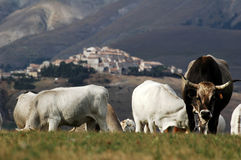 Cows breeding, in front of Castelluccio di Norcia , Italy Stock Photos