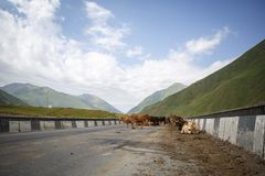 Cows on the bridge in Georgia, on the road, where cars pass, and a beautiful view of the mountains stock images