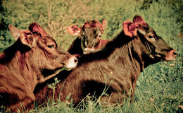 Cows, Brown Royalty Free Stock Image