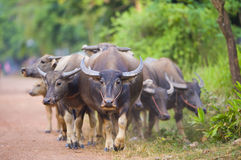 Cows and buffalos in thailand Royalty Free Stock Images