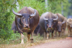 Cows and buffalos in thailand Stock Photography