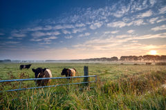Cows and bull on pasture at sunrise Royalty Free Stock Images
