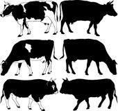 Cows and bull silhouettes Stock Image