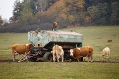 Cows and bulls Royalty Free Stock Image