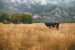 Cows and Bulls Grazing on Meadows in Portugal Stock Photography