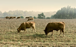 Cows and Bulls Stock Images